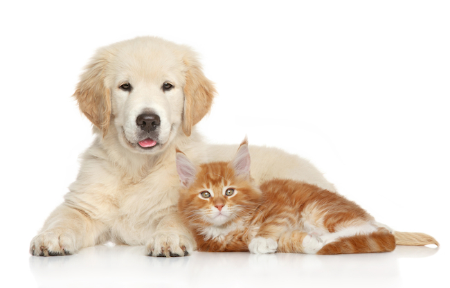 Golden-Retriever-puppy-and-kitten-posing-on-white-background.-Cat-and-dog-series.jpg